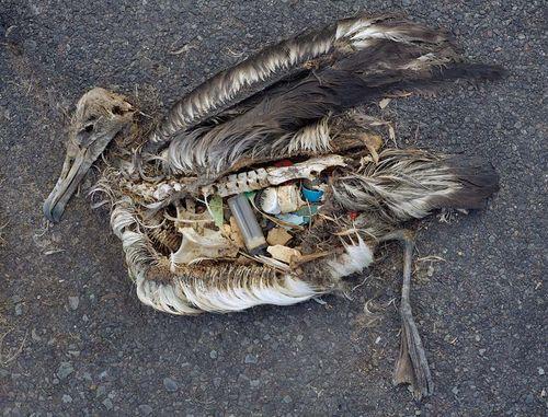 Albatross plastic2